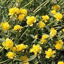 [17年5月中旬予約]八重咲きポーチュラカ:黄3号ポット