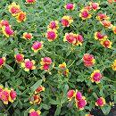 [17年5月中旬予約]八重咲きポーチュラカ:黄に赤3号ポット