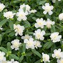 [17年5月中旬予約]八重咲きポーチュラカ:白3号ポット