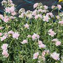 [17年5月中旬予約]八重咲きポーチュラカ:ライトピンク3号ポット