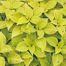 [17年5月中旬予約]栄養系コリウス:葉っぱのコリン ペパーポット7.5cmポット