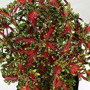 [17年5月中旬予約]栄養系コリウス:葉っぱのコリン レッドクラッシュ7.5cmポット