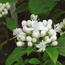 アジサイ(ディクロア):常山(ジョウザン)白花3.5号ポット