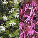 トキワマンサク:3.5号ポット2種セット(紅花赤葉と・白花青葉)