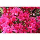 平戸ツツジ:紫花一重5号ポット5株セット
