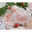 [17年5月中旬予約]四季咲中輪バラ:ステファニー グッテンベルク新苗