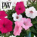 [17年5月中旬予約]ペチュニア3色植え:スーパーチュニアビスタ(ピンク&シルバーベリー&パープル)4号ポット