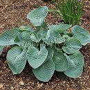 ギボウシ:アビカドリンキングゴード4号スリット鉢植え