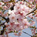 桜:大漁桜(タイリョウザクラ)接木苗5号ポット