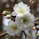 桜:子福桜(コブクザクラ)接木苗5号ポット
