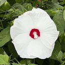 [17年5月中旬予約]ガーデンハイビスカス:ロコガール(ホワイト)3号ポット