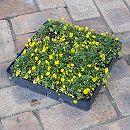 マット植物:ポテンティラ(ベルナ)のマット25cm×25cm 1枚