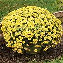 2度咲き耐寒ガーデンマム:シーズリングイグロー3.5号ポット