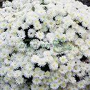 2度咲き耐寒ガーデンマム:フロスティイグロー3.5号ポット