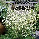 [17年4月中旬予約]タリクトラム デラバイ・アルバ(白花カラマツソウ)3号ポット