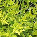 ナンテン(南天):レモンライム3.5号ポット