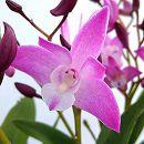 ギンギアナム:ピンク系5号陶器鉢植え