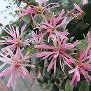 トキワマンサク:花まつり(ハナマツリ)3.5号ポット