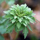 イチリンソウ:緑花八重咲き一輪草(3芽入り)3号ポット