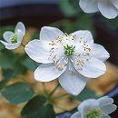 バイカカラマツ:純白梅花からまつ3号ポット
