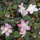 バイカカラマツ:赤花系台湾梅花からまつ2.5号ポット