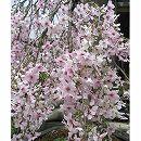 桜(サクラ):枝垂れ富士桜3号ポット