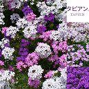 [17年3月中旬予約]宿根バーベナ:タピアンパープリッシュホワイト・ピンク・ローズ3号3種セット