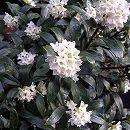 沈丁花(ジンチョウゲ):白花 3.5号ポット