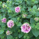 八重咲きペチュニア:プチローザヴェルデ3.5号ポット