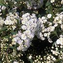 コデマリ:八重咲きこでまり4.5号ポット