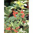 ドウダンツツジ:紅花ドウダン 樹高0.8〜1m根巻き
