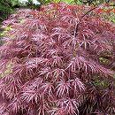 モミジ:紅枝垂れ(ベニシダレ)樹高1〜1.5m根巻きまたはポット苗