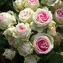 [送料無料][2017年母の日ギフト][予約]四季咲中輪バラ・ミミエデン6号鉢植え
