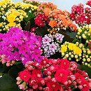 カランコエ:カランディバ 花色ミックス6号鉢植え