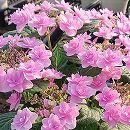 アジサイ:春よ恋(はるよこい)5号鉢植え