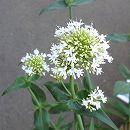 セントランサス:スノークラウド(白花)3号ポット 2株セット