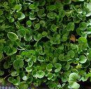 ダイカンドラ(ダイコンドラ):緑葉3.5号ポット 12株セット
