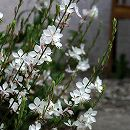 ガウラ(白蝶草):リンドハイメリー3.5号ポット 12株セット