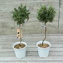 ローズマリー:スタンダード仕立て(這性)6号鉢植え* 2株セット