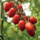 イタリアントマト:ロッソアモーレ3号ポット 2株セット