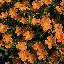 ポーチュラカ:ハッピーサマー オレンジ3号ポット 6株セット