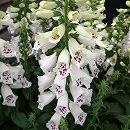 [4月中旬頃〜][4月中旬頃〜]ジギタリス(フォックスグローブ):ダルメシアンホワイト3.5号 2株セット