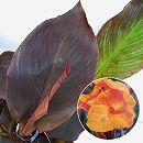 カラーリーフカンナ:ワイオミング6号鉢植え