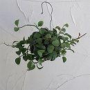 [3月上旬頃〜]ディスキディア:ミルネイ(緑葉)玉仕立て・吊りタイプ