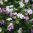 [6月下旬頃〜]コバノランタナ2色植え(ラベンダーピンクとホワイト)3.5号ポット
