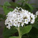 栄養系ヘリオトロープ:スイートバニラ(白花)3号ポット