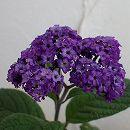 栄養系ヘリオトロープ:スイートバニラ(紫花)3号ポット