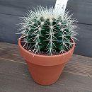 サボテンの王様:金シャチ4号陶器鉢植え