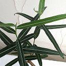ブラキチトン(ボトルツリー)3.5号鉢植え
