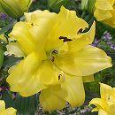 八重咲きオリエンタルリリー:エキゾチックサン1球植え